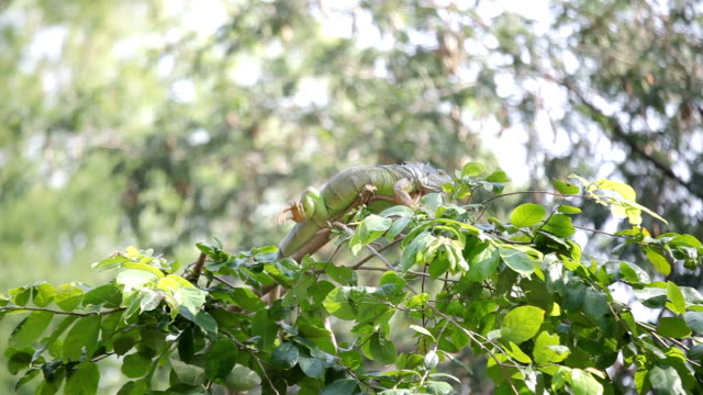 iguana reptile sitting on the tree video