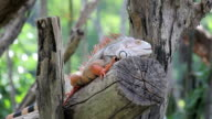 iguana reptile sitting on tree video