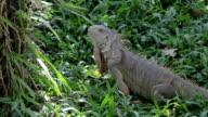 iguana reptile walking on gree grass video