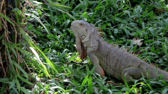iguana reptile walking on gree grass video