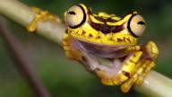 Imbabura Treefrog (Hypsiboas picturatus) video