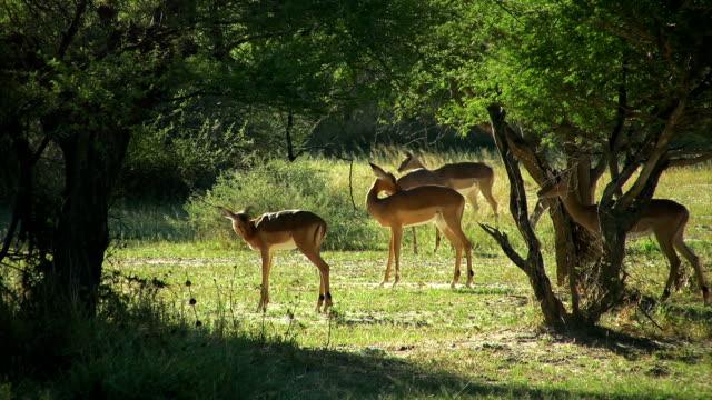 Impala antelopes video