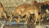 Impala drinking video