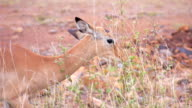 Impala eating leaves in Africa video