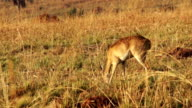 Impala Ram Motionless in Africa video