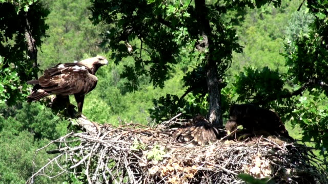 Imperial eagle feed chicks in the nest. video
