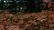 In fall forest.Young bushes painted with autumn colors video