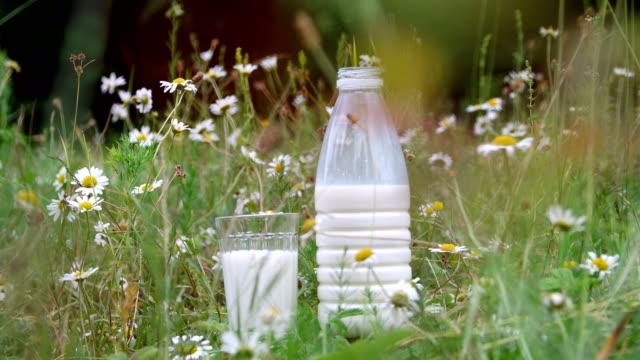 In the grass, among the daisies, stand a bottle of milk and a glass of milk. close-up video