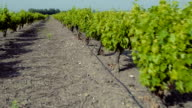 In the vineyard. Drone flyover video