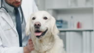 In Veterinary Clinic. Vet Examines the Dog and Strokes the Dog. video