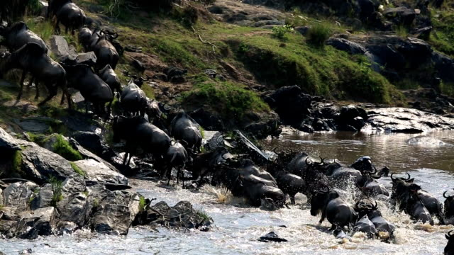 incredible fighting for survival - Great Wildebeest Migration in Kenya video