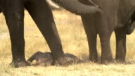 Incredible footage of newly born baby elephant,Botswana video