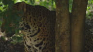 Incredible jaguar in the middle of the jungle, preparing to hunt video