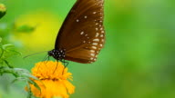 Indian Crow Butterfly video