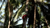 Indian man climbing a palm tree for harvest coconut. video