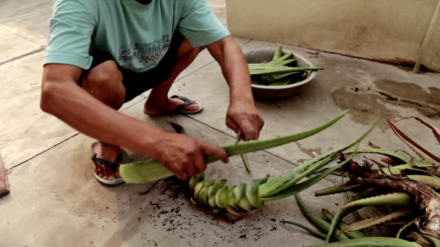 Indian Men cutting aloe vera for juice extraction, used as medicine for many disease. video
