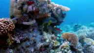 Indian Ocean oriental sweetlips on colorful coral reef video