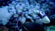 indian triggerfish and Masked puffer fish video