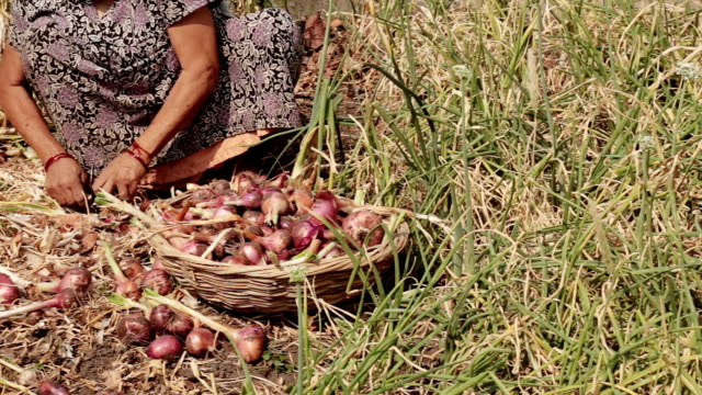 Indian village women working topping and tailing harvested red onions by hand. video