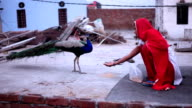 Indian women giving food to peacock at home video
