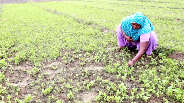 Indian Women Working in the Field video