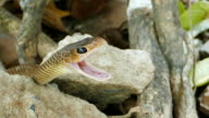 Indochinese rat snake in tropical rainforest. video