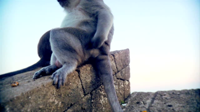 Indonesian monkey scratching is bottom video