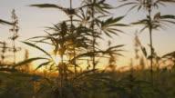 SLO MO Industrial cannabis at dawn video