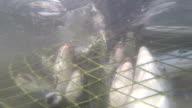 industrial catch salmon video