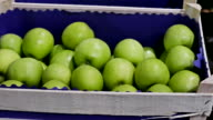 Industry of Fruit Growing and a Selection of Green Apples video
