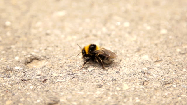 Infected bumble bee dying at the road video
