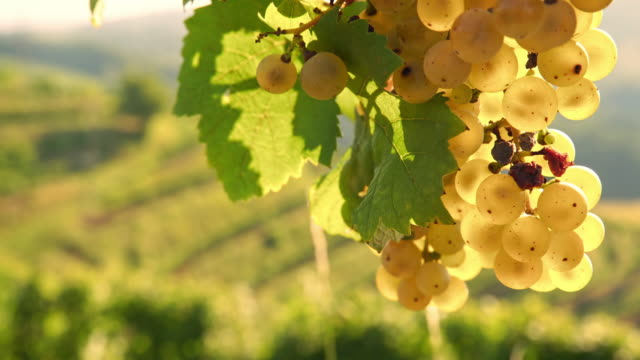 DS Infected grapes with disease video
