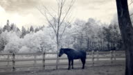 Infrared fauna: horse stays still at midday in paddock 4 video
