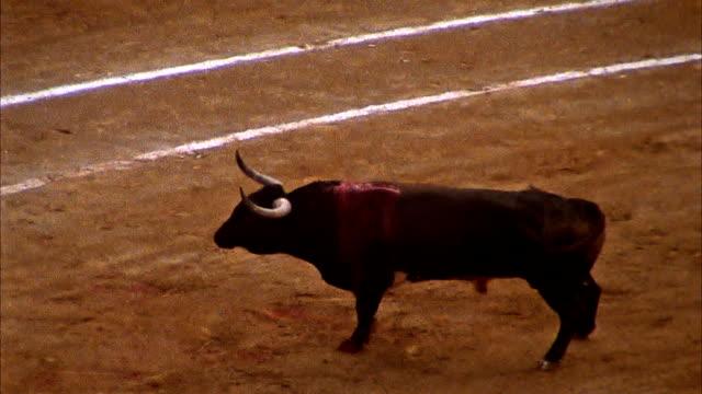 injured Male Cow at a Bull fight video