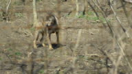 Injured Wolf Baby in Captivit video