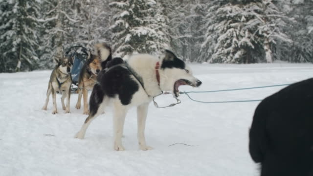 Inpatient Siberian husky attached to gangline video