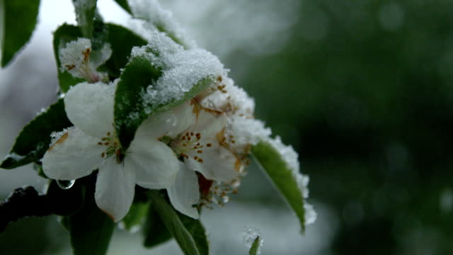 DOF: Insect hiding in blooming cherry tree twig in extreme snowy spring weather video