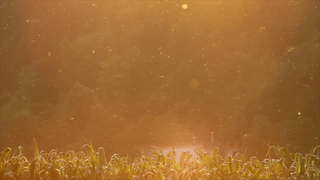 Insects circulating above the corn field video