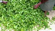 Inspecting Tea Leaves after Harvesting, Sri Lanka video