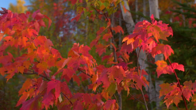 CLOSE UP DOF: Intense red color fall foliage on maple tree branches in forest video