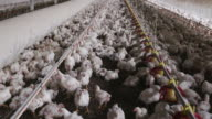 Intensive factory farming of chickens in broiler houses, South Africa video