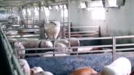 Intensive Pig Farming video