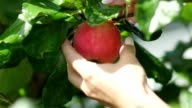 Invisible girl rotates the apple, then to tear it from the tree video