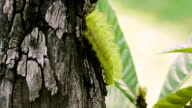 Io Moth Caterpillar Going Down video