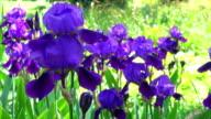Iris - 4k video