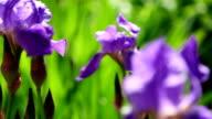 Iris flower video