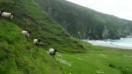 Irish Blackface Sheep Modelling On Sea Cliff video