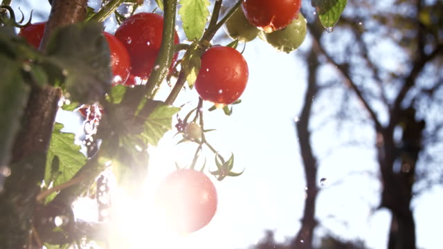 SLO MO Irrigating Tomatoes video