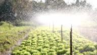 Irrigation Watering in a Green Vegetable Garden video