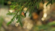 Isolated pine branch with bokeh balls in background video